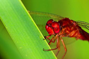 Scarlet Dragonfly, Crocothemis erythraea, Crete