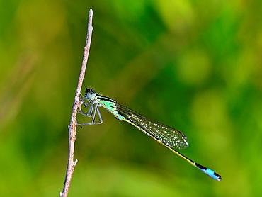 Young male Blue-tailed Damselfly, Ischnura elegans, Crete