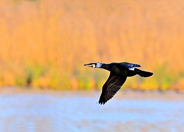 Cormorant, Phalacrocorax cormoranus, Greece