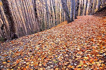 Bosque de las Hayas, Parque Nacional de Ordesa y Monte Perdido, Ordesa Valley, Torla, Sobrarbe, Huesca, Aragon Pyrenees, Aragon, Spain, Europe