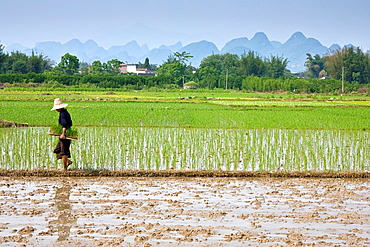 Rice Planting, Yangshuo, Guangxi Province, China
