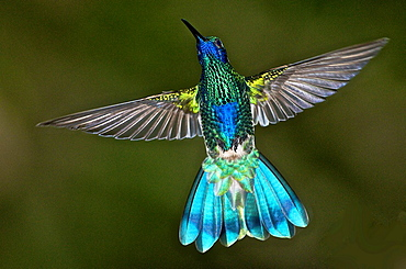 Sparkling Violet-ear Colibri coruscans in flight with wings open in the cloud forest near Caracas Venezuela