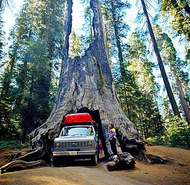 Sequoias Forest, Mariposa Grove, Yosemite National Park, California, USA.