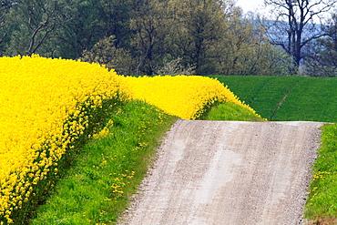 Rapeseed Road Skane Sweden.