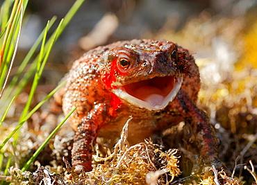 Toad Survived snake attack.