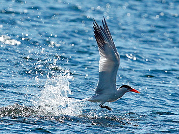Caspian tern Hydroprogne caspia fishing Sweden.