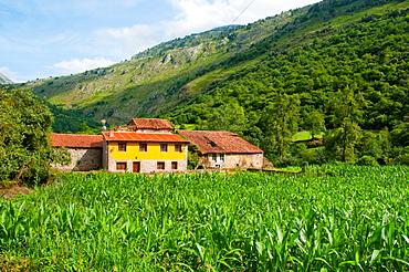 Corn field. Mier, Asturias, Spain.