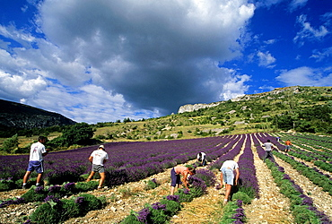 Lavandula angustifolia manual harvesting for bunch at Mevouillon, Drome department, region of Rhone-Alpes, France, Europe