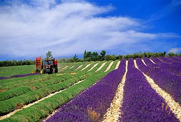 lavender mechanical harvesting, Drome department, region of Rhone-Alpes, France, Europe