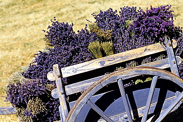 handcart full of lavender bunch, Drome department, region of Rhone-Alpes, France, Europe