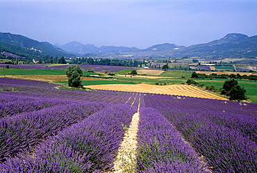 lavender fields in the St-Jalle's valley, Drome department, region of Rhone-Alpes, France, Europe