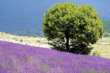 tilia tree in a lavender field, Drome department, region of Rhone-Alpes, France, Europe