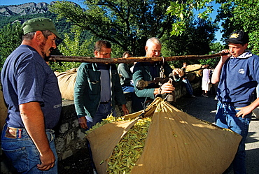harvest weighing, Tilia fair of Buis-les-Baonnies, Drome department, region of Rhone-Alpes, France, Europe