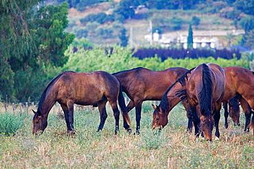Europe, Italy, Tuscany, Alberese, Uccellina Park, Wild Horses