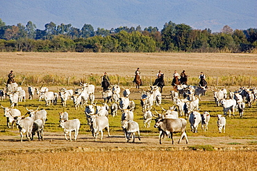 Europe, Italy, Tuscany, Alberese, Uccellina Park, Ranch Alberese, Cowboys And Cows