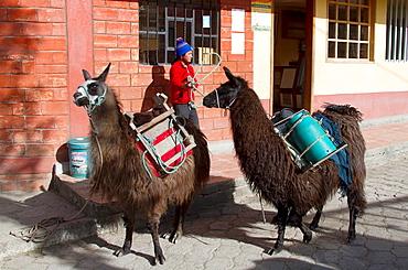 Ecuador, Salinas, Cheese Factory, delivery of fresh milk with llama.