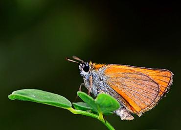 Essex Skipper, Thymelicus lineola, Greece