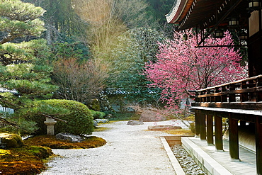 Beautiful sakura cherry blossom tree at sunset at the Zen Temple Saihoji in Kyoto, Japan