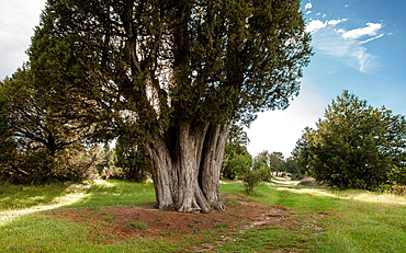 Juniper forest, Sigueruelo, Segovia privince, Spain