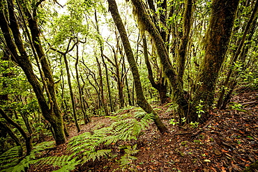 Garajonay National Park in the center and north of the island of La Gomera Canary Islands, Spain