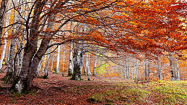 Fall, Autumn Foliage and colors in forests of the Spanish Pyrenees, Huesca, Aragon, Spain