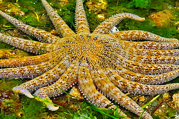 Sunflower star (Pycnopodia helianthoides), Haida Gwaii (Queen Charlotte Islands) Gwaii Haanas NP, British Columbia, Canada.