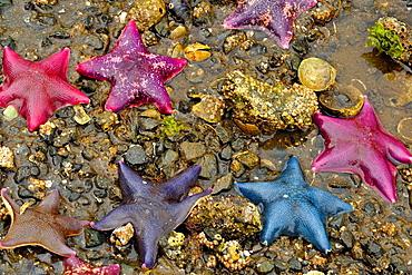 Intertidal invertebrates at low tide on Island Bay- Bat stars (Asterina miniata), Haida Gwaii (Queen Charlotte Islands) Gwaii Haanas NP, British Columbia, Canada.