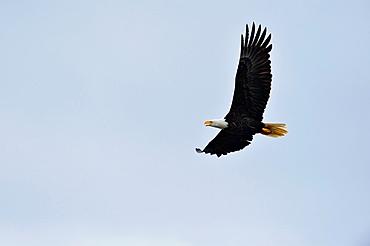 Bald eagle (Haliaeetus leucocephalus) Adult in flight, Haida Gwaii (Queen Charlotte Islands), British Columbia, Canada.