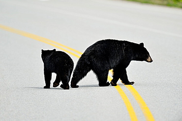 American Black bear (Ursus americanus) Sow and cubs crossing park road, Banff National Park, Alberta, Canada.