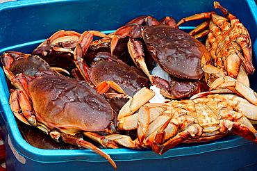 Harvest of dungeness crabs (females), Haida Gwaii (Queen Charlotte Islands) Gwaii Haanas NP, British Columbia, Canada.
