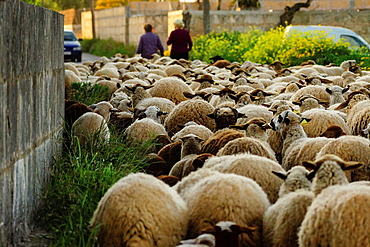 Flock Of Sheep, Llucmajor, Mallorca, Balearic Islands, Spain, Europe