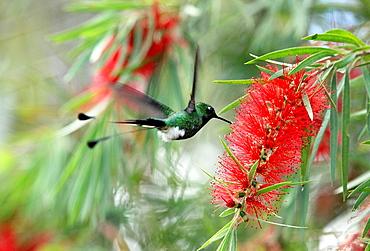 Racket-tailed Puffleg Hummingbird Venezuela