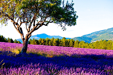 Blooming field of Lavender (Lavandula angustifolia) around Sault and Aurel, in the Chemin des Lavandes, Provence-Alpes-Cote d'Azur, Southern France, France, Europe, PublicGround.