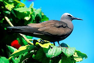 Lesser Noddy, Anous tenuirostris, Bird Island, Republic of Seychelles, Indian Ocean