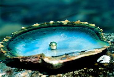 black pearl, Praslin island, Republic of Seychelles, Indian Ocean