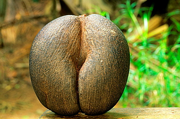 Coco de Mer nut, Lodoicea maldivica, Republic of Seychelles, Indian Ocean