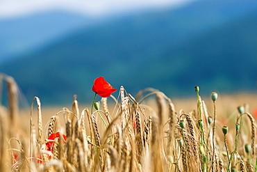 Poppy flower in a wheat field in Bulgaria.