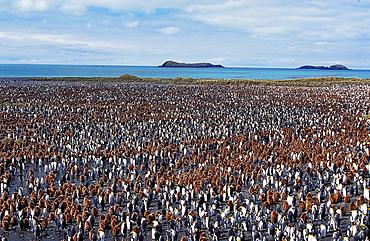 King Penguin, aptenodytes patagonica, Colony in Salisbury Plain, South Georgia.