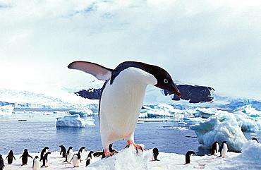 Adelie Penguin, pygoscelis adeliae, Paulet Island in Antarctica.