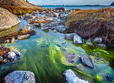 Tide pool with seaweed, Scoresbysund, Greenland.