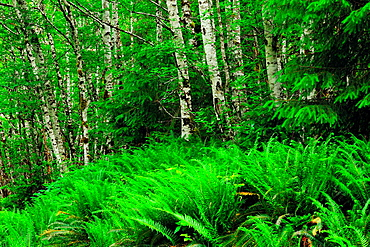 Sword ferns word fern (Polystichum munitum) and red alder (Alnus rubra), Haida Gwaii (Queen Charlotte Islands)- Sandspit, British Columbia, Canada.