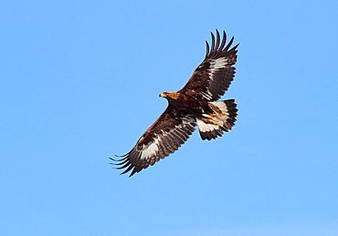 White tailed Eagle, Gnesta, Sodermanland, Sweden.