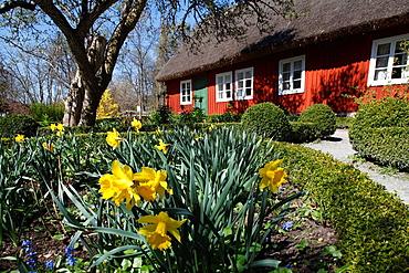 Daffodil, Skansen, Stockholm.
