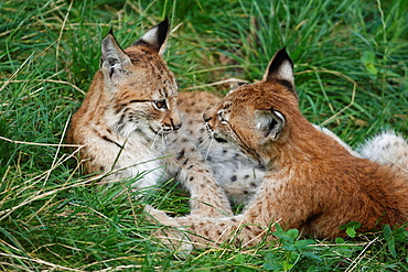 Lynx, Uppland, Sweden.