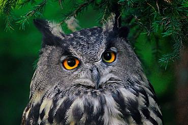 Eagle owl, Bubo bubo, Sweden.