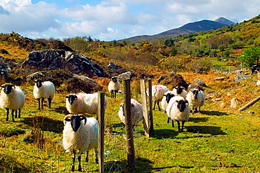 Mountain sheep, Mayo, Ireland. Croagh Patrick's summit is visible in the background.