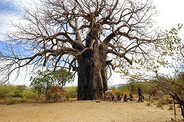Africa, Tanzania, Lake Eyasi National Park Baobab tree.