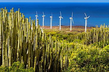 Canary Island spurge (Euphorbia canariensis) and wind turbines in Punta Teno. Tenerife, Canary Islands, Atlantic Ocean, Spain.