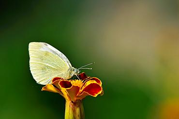 Small White, Pieris rapae, Crete
