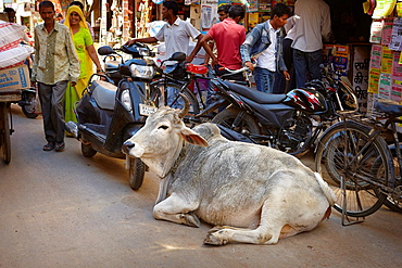 Cow lying on the street, Jaisalmer, Rajasthan State, India.